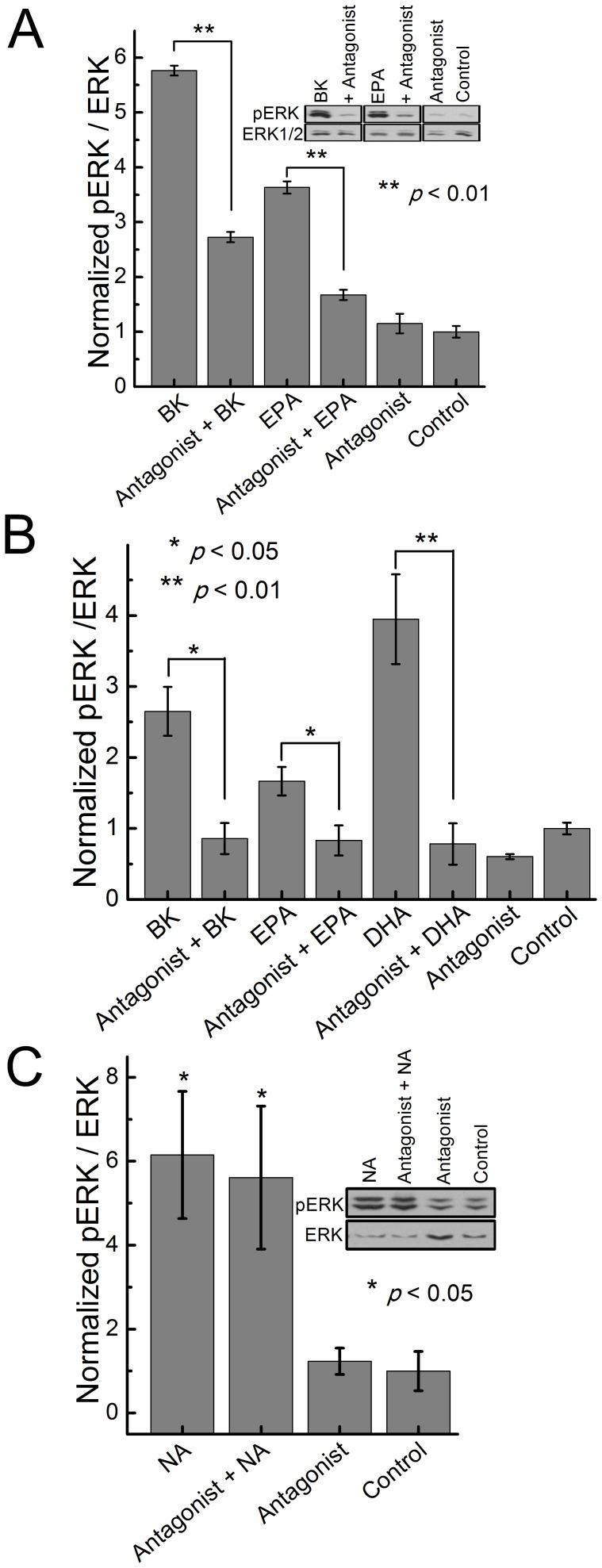 B 2 R antagonist inhibits ERK1/2 response to bradykinin and fatty acids. (A) Effect of 1µM of B 2 R antagonist HOE-140 on pERK stimulated with: 100 nM bradykinin, 1 µM EPA and 10 µM DHA in DPBS for 5 minutes at 37°C. Experiments were done 24 h after transfection of HEK293 cells with B 2 R in 12-well plates. (B) Effect of 1 µM of B 2 R antagonist HOE-140, on pERK stimulated with 10 nM BK, 1 µM EPA and 1 µM DHA in BAECs expressing endogenous B 2 R. Ratio of pERK to ERK was measured using western blots. (C) Effect of 1 µM of B 2 R antagonist HOE-140, on pERK stimulated with 100 nM NA in BAECs expressing endogenous adrenergic receptors. Data represent the mean of at least four independent experiments.