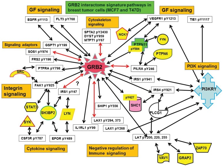 Pathway interactome of upregulated GRB2-pY proteome interactome in breast tumor cells (MCF7 and T47D). The GRB2-pY proteome interactions imply cross-talk between various signaling pathways that are functional to initiate various cellular responses. The GBR2 interactome revealed connections of RTK pathways with both classical GRB2-SOS-RAS cascade with PI3K-IRS1 cascade leading to AKT and ERK activation. The crosstalk between growth factor and cytokine signaling pathways as revealed by major receptors and adaptors and other downstream proteins. Upregulation of negative regulation of immune signaling pathways in tumor cells indicate the preparedness of tumor cells to fight and survive attack from host immune signaling mechanisms. Novel interactions are marked by red arrows.