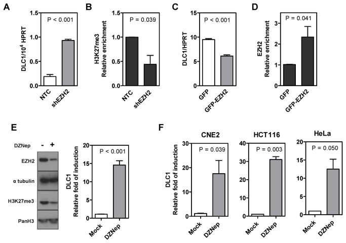EZH2-mediated H3K27me3 was involved in epigenetic repression of DLC1 in HCC and multiple other human cancers. ( A ) DLC1 was transcriptionally induced upon stable knockdown of EZH2 in MHCC97L cells. ( B ) qChIP analysis confirmed the depletion of H3K27me3 enrichment on DLC1 promoter upon EZH2 knockdown in MHCC97L cells. Data are represented as mean ± SEM from three independent experiments. ( C ) DLC1 was transcriptionally repressed in Huh7 cells after transient overexpression of GFP-EZH2. ( D ) qChIP analysis revealed a concomitant enrichment of EZH2 at DLC1's promoter locus upon GFP-EZH2 overexpression in Huh7 cells. Data are represented as mean ± SEM from three independent experiments. ( E ) EZH2 and H3K27me3 expression was reduced upon 1µM DZNep treatment for 48 hours in MHCC97L cells (left panel). DMSO was used as mock treatment. Pan H3 and α-tubulin were loading control of the immunoblot. DZNep treatment transcriptionally induced DLC1 expression in MHCC97L as indicated by qPCR analysis (right panel). ( F ) Different human cancer cells, including the nasopharyngeal carcinoma cell line CNE2, the colorectal carcinoma cell line HCT116 and the cervical adenocarcinoma cell line HeLa were examined for DLC1 re-expression upon DZNep treatment. Treatment of cells with 10µM DZNep reactivated DLC1 expression. P -values obtained from t -test.