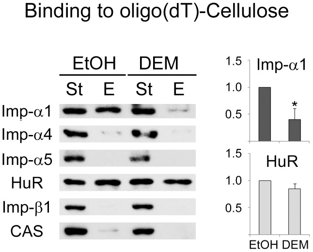 The association of importin-α1 with poly(A)-RNA in growing cells is regulated by stress. Crude extracts prepared for controls (ethanol, EtOH) and <t>DEM-treated</t> cells were incubated with <t>oligo-(dT)-cellulose</t> as described in Materials and methods . Aliquots of the start (St, 10%) and eluted (E, 100%) material were analyzed by Western blotting with different antibodies as indicated. The relative binding was calculated for importin-α1 and HuR; results were normalized to control samples. Data for three independent experiments are shown as average +SEM. Student's t-test was applied to identify significant differences between control and DEM-treated samples; *, p