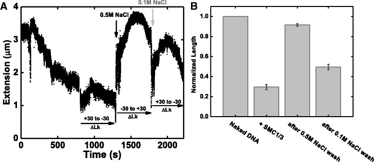 Alternation of DNA binding and looping function by varying salt concentration. ( A ) A 13 kb DNA with ΔLk = +14 was first compacted by 10 nM SMC1/3 under 0.5 pN force (0–800 s); DNA torsional response was tested by scanning the DNA extension from ΔLk = +30 to −30 with protein in solution (800–1300 s). Then we washed out the free protein in solution with protein free buffer containing 0.5 M NaCl; a fast DNA decompaction was observed (black arrow), and DNA torsional response was recovered to appear as naked DNA (1300–1750 s). Finally, we flush the flow cell with reaction buffer containing 0.1 M NaCl, and rapid DNA compaction was observed (gray arrow); DNA torsional response was also altered (1750–2150 s). ( B ) Average normalized DNA extension (extension relative to naked DNA contour length) at different salt concentration. First bar represents naked DNA before protein addition. The second bar represents the final DNA length in the presence of SMC1/3, normalized to naked DNA length; the average is 0.30 ± 0.03. After washing with reaction buffer containing 0.5M NaCl, the average DNA length is 0.92 ± 0.02 (third bar). After changing buffer back to reaction buffer containing 0.1 M NaCl, the average DNA normalized extension decreased to 0.50 ± 0.03 (fourth bar). Averages were computed over five experimental trials.