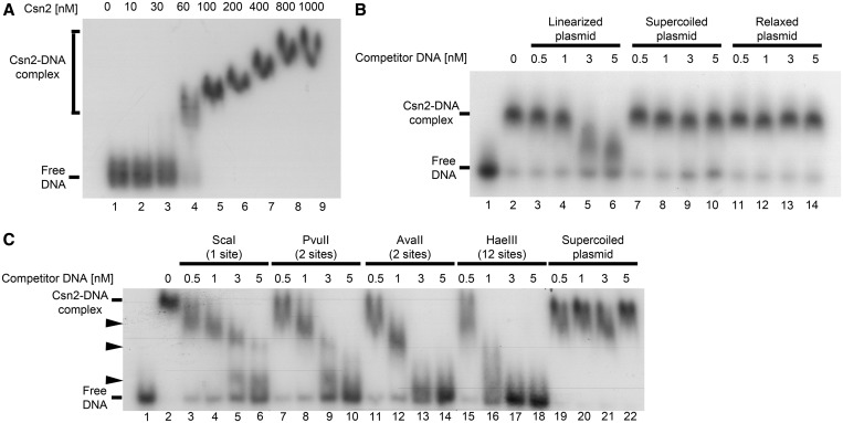 Electrophoretic mobility shift assays of a radiolabeled 155 bp DNA fragment with Csn2 either in the absence ( A ) or in the presence of competitor DNA ( B and C ) are presented. In each reaction 2 nM 32 P-labeled DNA, 20 ng/µl heparin, and 10 mM CaCl 2 were employed. (A) Titration of Csn2 in the range of 0 to 1 µM is shown. (B) Csn2 binding to the radiolabeled DNA fragment was competed with indicated amounts of 2915 bp unlabeled plasmid DNA either in ScaI -linearized (lanes 3–6), supercoiled (lanes 7–10) or in relaxed (lanes 11–14) form. The concentration of Csn2 was constant at 60 nM in lanes 2–14. Lanes 1 and 2 show the control reactions, performed either in the absence of Csn2 (lane 1) or in the absence of competitor DNA (lane 2). (C) The same competition experiment as in (B) but with PvuII -, AvaII -, or HaeIII -cleaved competitor plasmid. The numbers of cleavage sites of the different endonucleases are given in the brackets. The black arrowheads indicate intermediate Csn2-DNA complexes, resulting from decomposition of the fully occupied complexes.