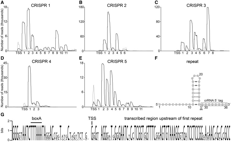 Detection of crRNA abundance and processing. ( A–E ) Illumina Hiseq2000 reads of T4 PNK-treated (black line) and untreated (gray dashed line) RNA samples were mapped to CRISPR loci 1–5 in the M. kandleri genome. The number of identified processed crRNAs and the detected transcription start site (TSS) are indicated. ( F ) Shown is the consensus repeat sequence and proposed structure. The detected cleavage site is indicated, and mature crRNAs contain an 8 nt 5′ tag. ( G ) A sequence logo of the aligned regions upstream of the first repeat in CRISPR loci 1–5 highlights a conserved transcription start site (TSS) and a boxA promoter sequence.