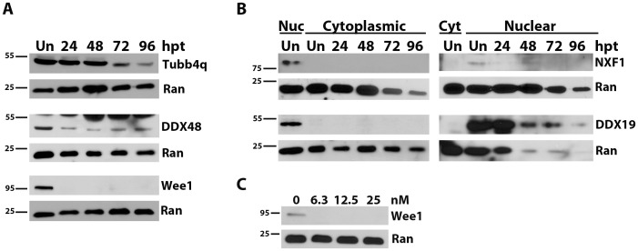 Transfection with <t>siRNA</t> reduces targeted protein over time. <t>HeLa</t> cells were untransfected (Un) or transfected with 25 nM siRNA to the indicated gene. Protein samples were subjected to Western immunoblotting and membranes probed for the protein of interest. Membranes were probed for Ran-GTP (Ran) as a loading control. Size markers in kDa are indicated to the left of each blot. At 24, 48, 72 and 96 hours post transfection (hpt), total protein was collected (A) or cells were fractionated into cytoplasmic (cyt) and nuclear (nuc) fractions (B). Panel C, HeLa cells were transfected with 0–25 nM siRNA to Wee1 and total protein collected at 24 hpt.