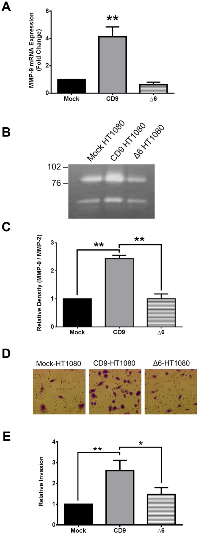 An increase in MMP-9 expression and release and subsequent cell invasion requires the second extracellular loop (EC2) of CD9. ( A ) MMP-9 mRNA expression was measured in Mock-, CD9-, and Δ6-HT1080 cells using qRT-PCR ( B,C ) Release of pro-MMP-9 and pro-MMP-2 was measured by gelatin zymography and quantified using Image J. ( D,E ) A representative picture of cell invasion through matrigel coated inserts and relative quantification of cell invasion *, p