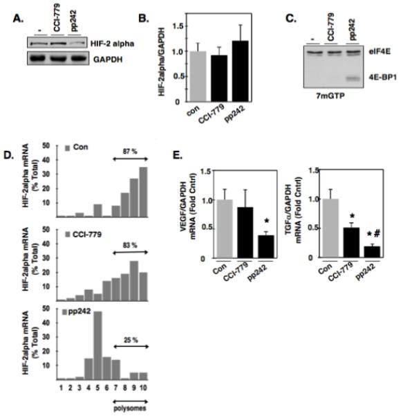 Effects of mTORC1 and mTORC2 inhibition on eIF4E binding to mRNA repressor, 4E-BP1. (a): VHL-deficient RCC 786-O cells were incubated with buffer alone (−), mTORC1 inhibitor (CCI-779), or the mTORC1/mTORC2 inhibitor (pp242) for 24 hours. Cellular lysates were analyzed by Western blot analysis for HIF-2alpha expression. GAPDH was used as a loading control. (b): In parallel to A, RNA was extracted and HIF-2alpha mRNA was examined by quantitative RT-PCR. (c): Cellular lysates were prepared as described in materials and methods from RCC 786-O cells treated with buffer alone (−), CCI-779, or pp242 for 24 hrs and eIF4E and its associated proteins were affinity purified using 7-methyl-GTP sepharose beads followed by Western blot analysis for total eIF4E and 4E-BP1. The data are representative of three independent experiments. (d): Polysomal fractions were prepared by passing cytosolic lysates from RCC 786-O cells treated with buffer treated (−), CCI-779, or pp242, over sucrose gradients as described in experimental methods. HIF-2alpha and GAPDH mRNAs were detected in each fraction by RT-PCR on RNA extracted from each fraction. Sedimentation analysis was examined in parallel of RCC 786-O cells by measuring optical density at 254 nm. (e): Quantitative RT-PCR was performed as outlined in materials and methods to examine the mRNA expression levels HIF-responsive genes (VEGF and TGF-alpha) in RCC 786-O cells treated with buffer alone (−), CCI-779, and pp242. The data is representative of three independent experiments and are expressed as fold control where the ratio of the buffer treated control cells was defined as 1. Values are the means +/− S.E, * p