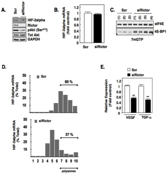 Rictor mediates eIF4E binding to mRNA translational repressor, 4E-BP1. (a): Equivalent amounts of cell lysates were analyzed for known downstream targets of Rictor, HIF-2alpha, pAkt (S473) by Western blot analysis in RCC 786-O cells silenced of Rictor using small inhibitory <t>RNA</t> (siRNA) or scrambled control (scr) as described in materials and methods. Total Akt and GAPDH were used as loading controls. (b): Steady state levels of HIF-2alpha mRNA levels were examined in RCC 786-O cells silenced of Rictor (siRictor) or scrambled control (scr). (c): eIF4E association with 4E-BP1 was examined as outlined in Fig. 1C using 7-methyl-GTP sepharose beads from RCC 786-O cells silenced for Rictor using siRNA (siRictor) or scrambled control (scr). The data are representative of at least three independent experiments. (d): Polysomal fractions were prepared by passing cytosolic lysates from RCC 786-O cells silenced of Rictor (siRictor) or scrambled control (scr), over sucrose gradients as described in experimental methods. HIF-2alpha and GAPDH mRNAs were detected in each fraction by <t>RT-PCR</t> on RNA extracted from each fraction. (e): Quantitative RT-PCR was performed as outlined in materials and methods to examine the mRNA expression levels HIF-responsive genes (VEGF and TGF-alpha) after siRNA down-regulation of Rictor or scrambled control. The data is representative of three independent experiments and are expressed as fold control where the ratio of the scrambled control was defined as 1. Values are the means +/− S.E, ** p