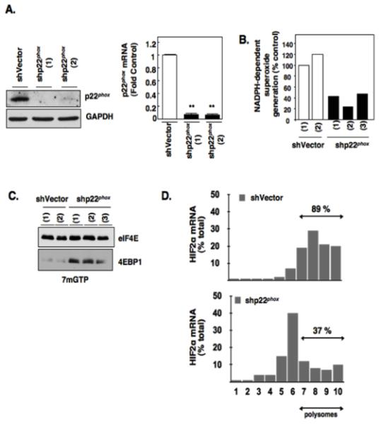 Effects of p22 phox inhibition on eIF4E-dependent mRNA translation. (a): p22 phox was stably knocked down using lentiviral short hairpin loop RNA (shp22 phox ) or vector control (shVector) as described in materials and methods. Western blot analysis (left panel) was carried out to confirm p22 phox downregulation in indicated independent single cell shp22 phox clones. GAPDH was used as loading control and quantitative RT-PCR (right panel) was carried out to confirm p22 phox mRNA down regulation (b): NADPH oxidase activity was measured in parallel. (c): eIF4E association with 4E-BP1 was examined as outlined in Fig. 1C using 7-methyl-GTP sepharose beads from RCC 786-O cells stably silenced for p22phox (shp22 phox ) or Vector control (shVector). The data are representative of at least three independent experiments. (d): Polysomal analysis was performed from RCC 786-O cells stably silenced for p22phox (shp22 phox ) or Vector control (shVector) as outlined in 2 D and as described in experimental methods.