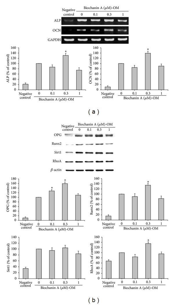 Biochanin A enhanced the expression levels of genes and proteins that regulate osteogenic differentiation in ADSCs. ADSCs were treated for 12 days with a basic medium (negative control) or an osteogenic medium (OM) in the presence of 0.1–1 μ M biochanin A. (a) After incubation, expression of ALP, OCN, and GAPDH mRNA was measured by RT-PCR. Expression of ALP and OCN genes was normalized to that of GAPDH. (b) After incubation, total proteins were isolated and analyzed for the expression of OPG, Runx2, Sirt1, and RhoA proteins by western blot analysis. β -actin was used as the internal control. All results are expressed as the mean ± SD of three independent experiments. * P