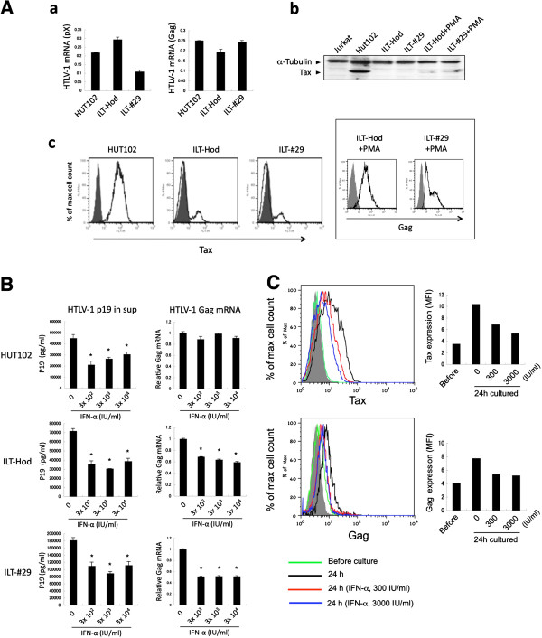 Effects of IFN-α treatment on HTLV-1 p19 release and viral transcription in various HTLV-1-infected cell lines. A . Expression of HTLV-1 mRNAs ( a ) and proteins ( b , c ) were evaluated by quantitative RT-PCR ( a ), immunoblotting ( b ), and flow cytometry ( c ), respectively, in HTLV-1-infected HUT102, ILT-Hod and ILT-#29 or uninfected Jurkat cell lines. a . The mRNA copy numbers measured by using pX or Gag primers were standardized to those for GAPDH and indicated as the means and standard deviations (SD) of duplicate samples. b . Cell lysates from indicated cell lines were subjected to an immunoblotting assay with antibodies to Tax (40 kDa) and α-Tubulin (50 kDa). The lysates in lanes 5 and 6 were prepared from ILT-Hod and ILT-#29 cells stimulated with PMA (50 ng/ml) overnight, respectively. c . Intracellular Tax proteins in permeabilized cells were stained with Alexa Fluor 488-labeled anti-Tax mAb (open histogram) and mouse IgG3 isotype control antibody (closed histogram). The inserted box indicates Gag expression in ILT-Hod and ILT-#29 cells stimulated with PMA (50 ng/ml) for 17h. B . HUT102 (top), ILT-Hod (middle) and ILT-#29 (bottom) cells were cultured for 3 days with or without three doses of IFN-α indicated. HTLV-1 p19 concentrations in the supernatants (left) and Gag mRNA levels were measured by ELISA and quantitative RT-PCR, respectively. Data are presented as the means and SD of duplicate samples. C . Frozen stored primary ATL cells were thawed and analyzed for intracellular Tax (top) or Gag (bottom) proteins by flow cytometry immediately (green line) or 24 h after culture with no (black line), 300 IU/ml (red line) or 3000 IU/ml (blue line) of IFN-α in the presence of IL-2 (30 IU/ml). The closed histogram represents samples stained with isotype controls. The mean fluorescence intensity (MFI) of each histogram was indicated in the bar graphs.