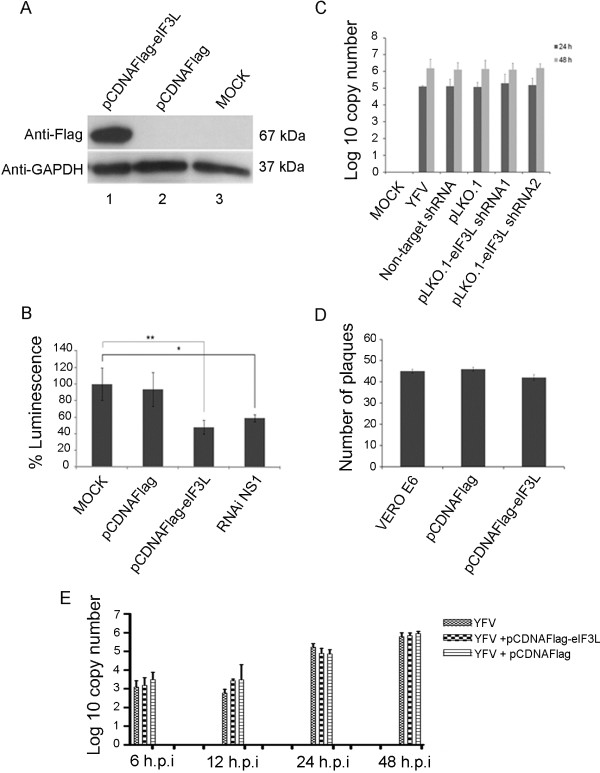 Effect of eIF3L on yellow fever virus replication. ( A ) eIF3L overexpression in BHK21-rep-YFV17D LucNeoIres cells at 48 h post-transfection using an anti-Flag antibody or anti-GAPDH antibody as a control. eIF-pCDNAFlag, overexpressing eIF3L; pCDNAFlag, empty vector control; MOCK, control cells. ( B ) Luciferase activity at 48 h transfection with eIF3L in BHK21-rep-YFV17D LucNeoIres cell lysates; MOCK, control cells; pCDNAFlag, empty vector control; eIF3L-pCDNAFlag, eIF3L overexpression; siRNA NS1, positive control. *Significantly different between the RNAi NS1 and mock samples; **significantly different between the pCDNAFlag-eIF3L and mock samples. ( C ) Quantification of viral RNA transcripts at 24 and 48 h post-infection with pseudotyped lentiviral particles using real-time PCR analysis. pLKO.1-eIF3LshRNA1, eIF3L silenced and infected cells; pLKO.1-eIF3LshRNA2, eIF3L silenced and infected cells; pLKO, empty vector control-infected cells; non-target, plasmid control non-target infected cells; YFV, infected cells; MOCK, control cells. ( D ) The plaque reduction assay indicates a discrete reduction in viral replication. ( E ) Quantification of viral RNA in Vero cell supernatants overexpressing eIF3L at 6, 12, 24, and 48 h post-infection.