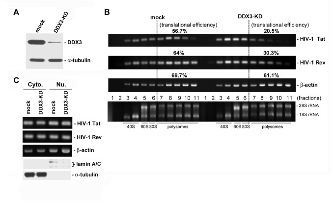 Translation of HIV-1 mRNAs is impaired in DDX3-depleted cells. HeLa cells were transfected with empty pSilencer 1.0-U6 vector (mock) or the pSilencer 1.0-U6 vector expressing sh-DDX3#2 (DDX3-KD). After 72 hours, cells were re-transfected with the proviral DNA pHXB2gpt plasmid and harvested at 12 h post-transfection. A . Immunoblotting was performed using anti-DDX3 and anti-α-tubulin antibodies to show the knockdown efficiency of DDX3 in HeLa cells . B . Cytoplasmic extracts prepared from mock-transfected (mock) or DDX3-depleted (DDX3-KD) HeLa cells were subjected to 15-40% sucrose gradient sedimentation. RNA extracted from gradient fractions was analyzed by conventional RT-PCR using specific primers for HIV-1 Tat and Rev mRNAs (upper two panels). The housekeeping gene β-actin mRNA, whose translation is not significantly affected by DDX3 knockdown, served as a negative control (the 3 rd panel). The translational efficiency of each mRNA was calculated as the ratio of polysome-associated mRNAs (fractions 7-11) to total mRNA (all fractions). The 18S and 28S rRNAs were resolved on a 1% formaldehyde/agarose gel and visualized by ethidium bromide staining (lower panel). C . RNA extracted from the cytoplasmic (Cyto.) and nuclear (Nu.) fractions of mock-transfected (mock) and DDX3-depleted (DDX3-KD) HeLa cells was analyzed by conventional RT-PCR using specific primers for HIV-1 Tat , HIV-1 Rev , and β-actin mRNAs (upper three panels). The subcellular fractions were also subjected to immunoblotting using anti-lamin A/C and anti-α-tubulin (lower two panels).