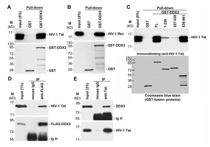 DDX3 interacts with HIV-1 Tat in vitro and in vivo . A . His-tagged recombinant HIV-1 Tat protein was incubated with GST or GST-DDX3. After GST pull-down, bound proteins were analyzed by immunoblotting with anti-HIV-1 Tat antibody (upper panel). The GST-fusion proteins were resolved by SDS-PAGE and visualized by Coomassie blue staining (lower panel). B . The experiment was essentially similar to panel A, except that His-tagged recombinant HIV-1 Rev protein was used in the GST pull-down assay. Bound proteins were analyzed by immunoblotting with anti-HIV-1 Rev antibody (upper panel). C . The experiment was essentially similar to panel A. The assay used recombinant GST, GST-DDX3 (full-length; FL) or GST-DDX3 fragments (amino acids 1-226, 227-535 and 536-661) as bait to pull down His-tagged recombinant HIV-1 Tat protein. Bound proteins were analyzed by immunoblotting with anti-HIV-1 Tat antibody (upper panel). The GST-fusion proteins were resolved by SDS-PAGE and visualized by Coomassie blue staining (lower panel). D . FLAG-tagged DDX3 and HIV-1 Tat proteins were transiently co-expressed in HEK293 cells for 48 h. Immunoprecipitation was performed using anti-FLAG M2 agarose. Precipitated proteins were subjected to immunoblotting with anti-HIV-1 Tat antibody (upper panel) or anti-DDX3 antibody (lower panel). Ig H represents the immunoglobulin heavy chain. E . HIV-1 Tat protein was transiently expressed in HEK293 cells for 48 h. Immunoprecipitation was performed using anti-HIV-1 Tat antibody bound to protein A sepharose beads. Precipitated proteins were subjected to immunoblotting with anti-DDX3 antibody (upper panel) or anti-HIV-1 Tat antibody (lower panel).