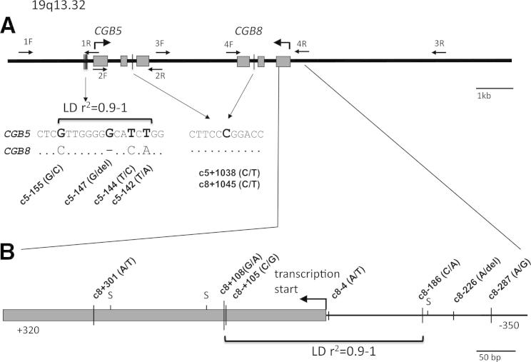 """Genomic content of the studied polymorphisms in the CGB5 and CGB8 genes. ( A ) Design of the RFLP experiment for the genotyping of the Danish RM patients and fertile controls. The exons are depicted with gray boxes . A bold arrow shows the direction of gene transcription. The positions of the PCR primers (1F to 4F, 1R to 4R; Supplemental Table 1 ) for the amplification of the CGB5 and CGB8 genic regions are depicted with short arrows . The flanking regions of the genotyped SNPs (c5-155, c5-142, c5+1038, c8+1045) have been zoomed in and aligned between the two duplicate genes. Dots indicate identical nucleotides in the corresponding positions of CGB5 and CGB8 . The SNP code corresponds to the gene name (c5 = CGB5 ) and location relative to mRNA start site. The LD between the four polymorphisms in the CGB5 promoter region is expressed using the r 2 -statistic. ( B ) The SNPs identified in Danes within the resequenced region of CGB8 spanning the upstream region (−350 bp from mRNA start site) and the first exon ( gray box ; up to +400 bp). The proximal promoter of the hCGbeta coding CGB genes necessary for full basal expression has been demonstrated to be located between nucleotide positions −362 and +104 relative to mRNA start site (31) . The direction of gene transcription is shown with a bold arrow . Singleton SNPs are marked with """"S,"""" rare SNPs (MAF,"""