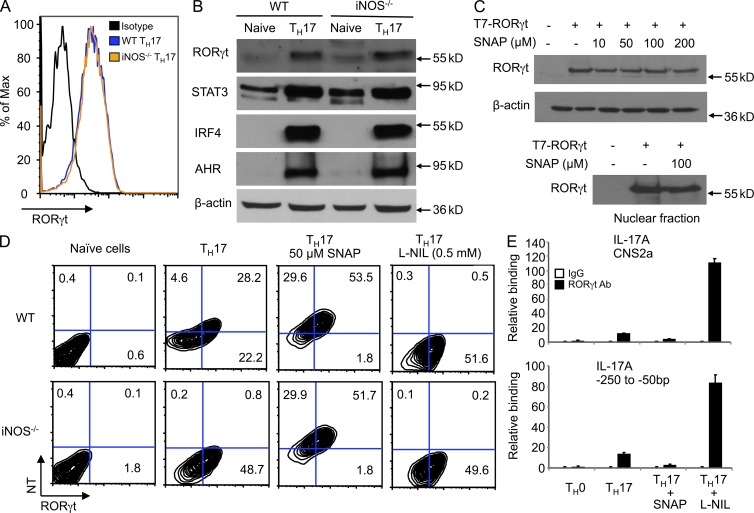 NO suppresses RORγt-mediated IL-17 transcription. (A) Naive CD4 + T cells from WT or iNOS −/− mice were differentiated under T H 17 polarizing conditions for 3 d. Cells were then restimulated with PMA/ionomycin for 5 h, stained for intracellular RORγt, and analyzed by flow cytometry. Representative FACS dot plots gated on CD4 + cells and the percentages of RORγt-positive CD4 + cells are shown. (B) The cells prepared in A were lysed and cell lysates were prepared. The expression of RORγt and other indicated proteins was analyzed by Western blotting. (C) 293T cells were transfected with T7-tagged RORγt plasmid for 40 h in the presence of SNAP (10, 50, 100, or 200 µM). Cell lysates were collected and RORγt protein expression was analyzed by Western blotting. Alternatively, 293T cells were transfected with T7-tagged RORγt plasmid for 40 h in the presence of 100 µM SNAP. Nuclear protein was extracted and RORγt protein expression was analyzed by Western blotting. (D) Naive CD4 + T cells from WT or iNOS −/− mice were differentiated under T H 17 polarizing conditions in the presence of 50 µM SNAP or 0.5 mM L-NIL for 3 d. Cells were then restimulated with PMA/ionomycin for 5 h, stained for intracellular RORγt and nitrotyrosine, and analyzed by flow cytometry. Representative FACS dot plots are gated on CD4 + cells. (E) Naive CD4 + T cells from WT mice were cultured under T H 17-polarizing conditions in the presence of 50 µM SNAP or 0.5 mM L-NIL for 60 h, followed by ChIP assay. 3 µg anti-RORγt antibody or isotype-matched IgG as control antibody were used in the immunoprecipitation step. PCR was used to quantify the amount of precipitated DNA with primers flanking the CNS2 and −250 to −50 regions of the IL-17 promoter. Each bar represents mean ± SD from three independent experiments.