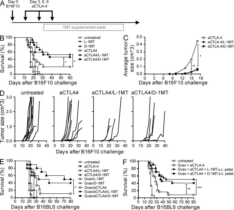 Anti–CTLA-4 and 1MT synergize to mediate tumor rejection. Treatment schedule (A), Kaplan-Meier survival curves (B), mean tumor size (C) and individual tumor growths (D) for C57BL/6 mice challenged with B16F10 melanoma cells i.d. and treated with anti–CTLA-4 and/or 1MT. The numbers of mice/group rejecting tumors was: untreated (0/10 mice), anti–CTLA-4 (2/10), anti–CTLA-4/L-1MT (6/10), and anti–CTLA-4/D-1MT (5/10). Kaplan-Meier survival curves for C57BL/6 mice challenged with B16BL6 and treated with anti–CTLA-4, Gvax, and/or 1MT. 1MT was administered in the drinking water (E) or as time-release subcutaneous pellets (F). Data shown are pooled from two (C and D) or three (B, E, and F) independent experiments with five mice/group. Statistical significance was evaluated by Log-Rank Test(B, E, and F; *, P