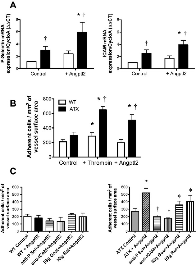 Angptl2 stimulates leukocyte adhesion to the native endothelium in ATX but not WT mice. A, Expression of P‐selectin and ICAM‐1 mRNA in freshly isolated aortic ECs from WT (n=7) and LDLr −/− ; hApoB +/+ (ATX; n=6) mice was quantified by quantitative RT‐PCR and normalized to cyclophilin A after stimulation or not with purified recombinant angptl2 (100 nmol/L). Data are mean±SEM of n mice. * P