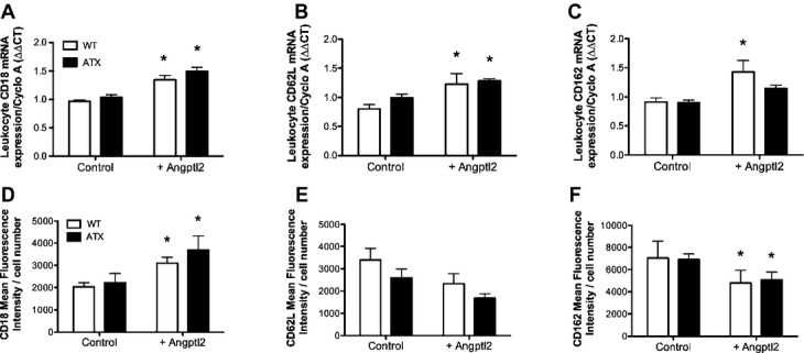 Angplt2 mRNA abundance and cell surface expression of cell adhesion molecules in leukocytes from both WT and ATX mice. Basal and angptl2‐induced mRNA expression of (A) CD18, (B) CD62L, and (C) CD162 in leukocytes from 3‐month‐old WT (n=6) and ATX (n=6) mice, were quantified by quantitative RT‐PCR and normalized by cyclophilin A. Cell surface protein expression of (D) CD18, (E) CD62L, and (F) CD162 was quantified in control and angptl2‐treated WT (n=6) and ATX (n=6) leukocytes by flow cytometry. Leukocytes were labeled using monoclonal anti‐CD18, anti‐CD62, and anti‐CD162L antibodies or with corresponding isotype‐matched IgG (data not shown). Data are mean±SEM of n mice. * P