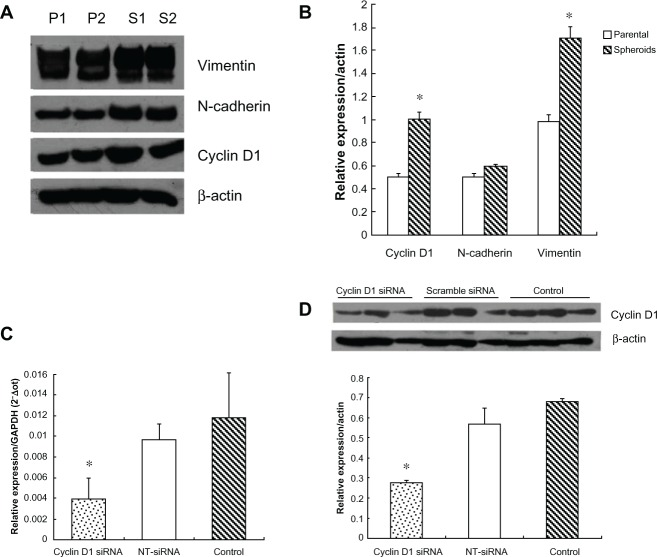 The expression pattern of cyclin D1, N-cadherin, vimentin in parental cells and spheroids, and transfection efficacy of cyclin D1 siRNA. Notes: ( A and B ) The average value of cyclin D1 was higher in spheroids than that in parental cells with a significant difference ( t = −3.351, P = 0.007). The value of N-cadherin was not statistically different between spheroids and parental cells ( t = −1.322, P = 0.221). The average value of vimentin was also higher in spheroids than that in parental cells, with a significant difference ( t = −2.471, P = 0.033). ( C ) Cyclin D1 mRNA was downregulated nearly 59% after siRNA transfection. ( D ) Cyclin D1 protein was down-regulated nearly 51% after siRNA transfection. Abbreviations: P1, parental cell sample 1; P2, parental cell sample 2; P1, spheroids sample 1; S2, spheroids sample 2; NT-siRNA, nontargeting small interfering RNA.