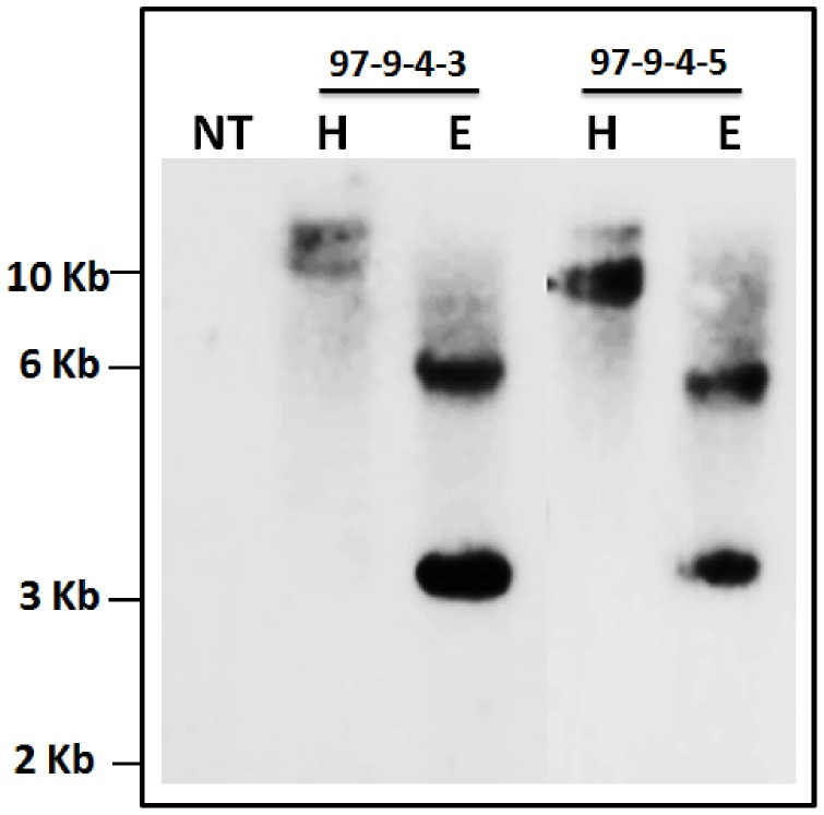 Southern blot analysis of T 4 progenies of line IO6-97. Stable integration of RGA2 intron was detected in transgenic rice plants, no hybridization signal was observed in the respective non-transgenic control. Each lane consists of 10 µg genomic <t>DNA,</t> digested with <t>EcoR</t> I or Hind III. The position and sizes of markers are indicated (NT = Non-transgenic control, E = EcoR I and H = Hind III).