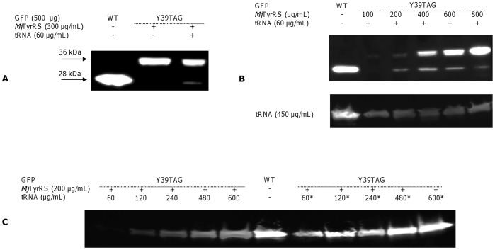 Western Blot of WT <t>GFP</t> and GFP Y39TAG mutant expression in a cell-free translation system. Synthesis of WT GFP and the GFP Y39TAG mutant was performed using the <t>RTS</t> E. coli HY Kit, to which the corresponding plasmid (500 µg/mL), purified Mj TyrRS and cognate suppressor Mj tRNA CUA (tRNA) or T-stem modified tRNA CUA Opt (denoted as *) were added. (A) Expression of WT GFP and the GFP Y39TAG mutant in the presence of Mj TyrRS (300 µg/mL) and synthetic Mj tRNA CUA (60 µg/mL). The band at 28 kDa corresponds to full-length GFP. (B) Western blot analysis demonstrates enhanced GFP Y39TAG protein expression as a function of increased Mj TyrRS concentrations in a cell-free reaction medium supplied with Mj tRNA CUA (60 µg/mL – top panel and 450 µg/mL – bottom panel). ( C ) Dependence of GFP Y39TAG yield on the type and concentration of nonsense suppressor, as visualized by Western blot.