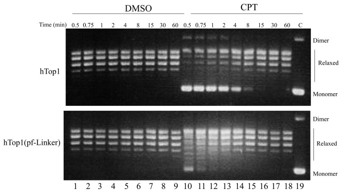 Relaxation of supercoiled DNA. Relaxation of negative supercoiled plasmid in a time course experiment for hTop1 and hTop1(pf-Linker) in presence of DMSO (lanes 1–9) and 100µM CPT (lanes 10–18); lane 19, no protein added. The reaction products are resolved in an agarose gel and visualized with ethidium bromide. The two forms of the supercoiled plasmid DNA are indicated as