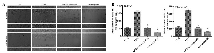 Effects of α-mangostin on the migration of BxPC-3 and MIAPaCa-2 pancreatic cancer cells. The cells were treated with LPS (5 μ g/ml) and/or α-mangostin (5 μ M) for 24 h, and were subjected to analyses for cell migration. (A) Images of migratory BxPC-3 and MIAPaCa-2 cells were captured under a microscope at ×40 magnification. Data are represented as the mean ± SD of three independent experiments. * P