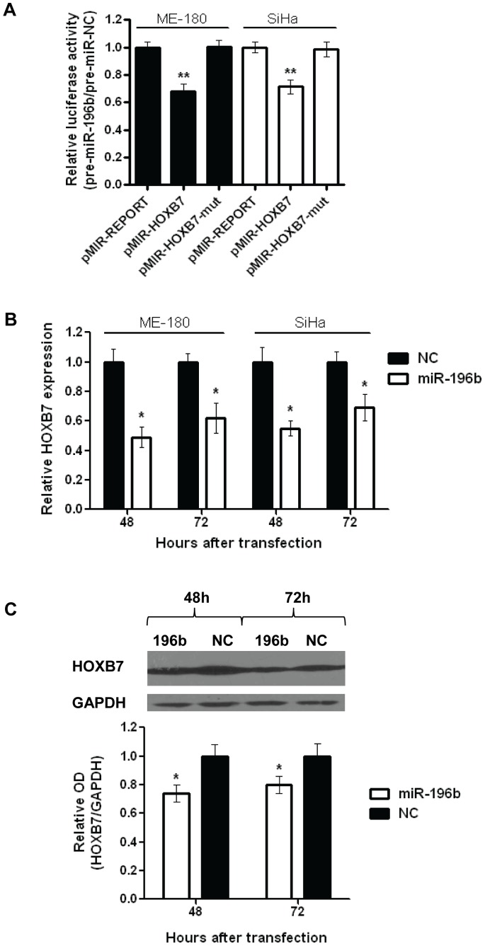 Identification of HOXB7 as an mRNA target of miR-196b. A) Relative luciferase activity of ME-180 or SiHa cells at 24 hours after co-transfection with pMIR-REPORT, pMIR-HOXB7 or pMIR-HOXB7-mut vectors and pre-miR-196b or NC (30 nmol/L). B) Relative HOXB7 mRNA expression levels in ME-180 or SiHa cells after transfection (48, and 72 hrs) with pre-miR-196b or NC (30 nmol/L), as measured by qRT-PCR. Expression levels were normalized to GAPDH expression. C) Representative Western blot image (top), and relative quantification of HOXB7 protein levels (bottom) after transfection (48, and 72 hrs) with pre-miR-196b or NC (30 nmol/L). All data represented the mean ± SEM from 3 independent experiments. OD, optical density; NC, pre-miR Negative Control; * P