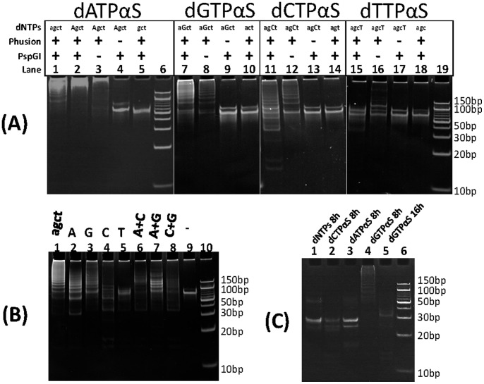PAGE electrophoresis of PEAR products. For dNTPs, lowercase letters (agct) represents natural dNTPs, and uppercase letters (AGCT) represents dNTPαSs. (A) PEAR products incorporating natural or dATPαS, dGTPαS, dCTPαS, dTTPαS: Lane 1: natural dNTPs; Lane 2: dATPαSs; Lane 3: No PspGI control; Lane 4: No Phusion DNA polymerase control; Lane 5: No dATP control; Lane 6∶10bp DNA ladder; Lane 7: dGTPαS; Lane 8: No PspGI control; Lane 9: No Phusion DNA polymerase control; Lane 10: No dCTP control; Lane 11: dCTPαSs; Lane 12: No PspGI control; Lane 13: No Phusion DNA polymerase control; Lane 14: No dCTP control; Lane 15: dTTPαSs; Lane 16: No PspGI control; Lane 17: No Phusion DNA polymerase control; Lane 18: No dTTP control; Lane 19∶10bp DNA ladder. (B) PEAR products incorporating one or two kind of dNTPαSs: Lane 1: natural dNTPs; Lane 2–5: one kind of dNTPαSs; Lane 6–8: two kind of dNTPαSs; Lane 9: No dNTPs control; Lane 10∶10bp DNA ladder; (C) Full digestion of PEAR products incorporating different dNTPs or dNTPαSs.