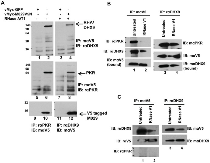 M029 interacts with human PKR and DHX9/RHA in virus-infected cells. A) HeLa cells were infected with vMyx-GFP (lanes 1, 3, 5, 7, 9 and 11) or vMyx-M029V5N (lanes 2, 4, 6, 8, 10 and 12) for 24 h. Cell lysates were untreated or treated with RNAse A/T1(50 µg/ml RNase A and 125 u/ml RNase T1) at 4°C and co-IP was performed using mouse anti-V5 antibody (lanes 1 to 8), rabbit anti-PKR (lanes 9 and 10) or rabbit anti-DHX9. Proteins associated with the complex were separated on 12% SDS-PAGE, transferred to a PVDF membrane and immunoblotted. The bots were probed with rabbit anti-DHX9 (lanes 1 to 4), rabbit anti-PKR (lanes 5 to 8) or mouse anti-V5 (lanes 9 to 12). B) M029 interaction with PKR is mediated by dsRNA but interaction with DHX9 is dsRNA independent. HeLa cell were infected with vMyxM029V5N for 24 h, cell lysates were treated with RNase V1 (10 u/ml) at 4°C over-night and co-IP was performed using mouse anti-V5 (lanes 1 and 2) or rabbit anti-DHX9 (lanes 3 and 4). After transfer the blots were probed with different antibodies. C) M029 interaction with DHX9 is independent of PKR. HeLa cell lines with constitutive knock down of PKR (HeLa shPKR, described in figure 9 ) were infected with vMyx-M029V5N for 24 h, cell lysates were treated with RNase V1 at 4°C overnight and co-IP was performed using mouse anti-V5 (lanes 1 and 2) or rabbit anti-DHX9 (lanes 3 and 4). After transfer the blots were probed with different antibodies.