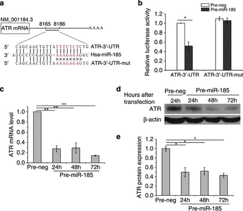 miR-185 negatively regulates ATR expression at post-transcriptional level. ( a ) Construction of a vector with either the wild-type sequence of the 3′-UTR of ATR mRNA (ATR-3′-UTR) or a mutated seed sequence of the miR-185-binding site (ATR-3′-UTR-mut). The seed sequence is shown in red. ( b ) Luciferase reporter assays. Each constructed vector was co-transfected with exogenous pre-miR-185 or pre-neg into 786-O cells. Luciferase activity was read 24 h after transfection. ( c ) ATR expression regulated by miR-185 at the mRNA level. qRT-PCR was conducted to quantify the expression level of ATR mRNA at the indicated time points after 786-O cells were transfected with pre-miR-185 or pre-neg. ( d ) ATR expression regulated by miR-185 at the protein level. Western blotting was performed at the indicated time points after transfection with pre-miR-185 or pre-neg.  β -Actin, loading control. ( e ) Densitometric analysis of ATR protein levels shown in panel  d . Each experiment was conducted at least three times independently. * P