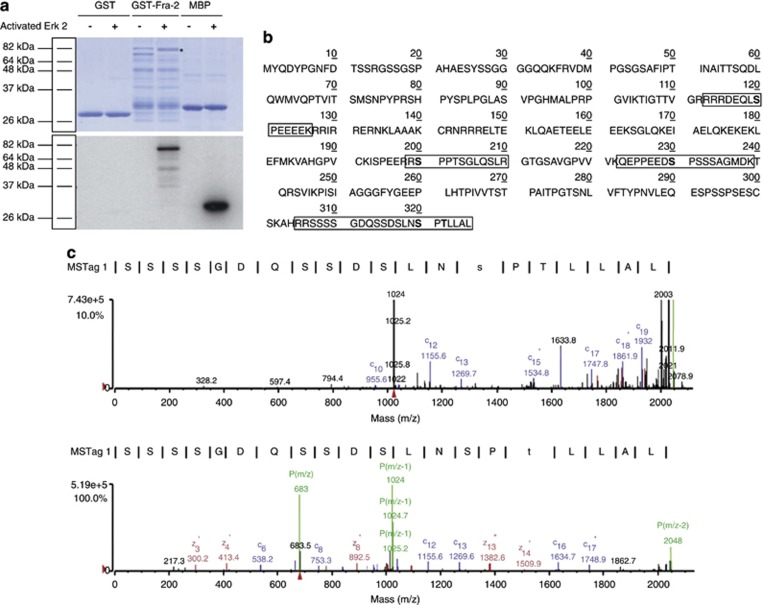 Identification of Fra-2 phospho-acceptor sites using phospho-peptide mass spectrometry analysis. ( a ) Purified GST, GST-Fra-2 or MBP were incubated with γ - 32 P-ATP and activated ERK 2 or its buffer in vitro . The samples were run on an 8% SDS-PAGE, which was Coomassie stained ( a ), dried and exposed to film ( b ). GST alone was used as a negative control and MBP was used as a positive control. ( b ) Linear Fra-2 amino acid sequence. The in vitro kinase assay was repeated with GST-Fra-2, activated ERK 2 and unlabeled ATP. Samples were resolved on an 8% SDS-PAGE, and the unphosphorylated and phosphorylated GST-Fra-2 bands were excised, digested by trypsin and the resultant peptides were analyzed by mass spectrometry. The results from the mass spectrometry analysis are summarized: where phosphopeptides detected by mass spectrometry are boxed, DEF domain (282-285) is underlined and ERK 2 phosphorylated residues (120, 200, 230, 320, 322) are in bold. ( c ) Spectra for S320 (upper panel). C13 ion has a m/z of 1269.7 and C15 ion has a m/z of 1534.8, and a difference of 265.1. The C13 ion is composed of S and P that have masses of 87.08 and 97.12, respectively, added together to give a value of 184.2. The difference between 265.1 and 184.2 is 80.90, which corresponds to a addition of a phosphate group. The spectra for T322 (lower panel) has a C13 of 1269.6 and C16 of 1634.7, and has a difference of 365.1. The C16 ion corresponds to S, P and T, which m/z of 87.08, 97.12, and 101.11, respectively, added together gives 285.31. The difference of the value gives 79.79, corresponding to an addition of a phosphate group