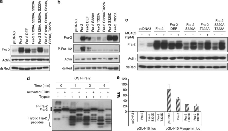 Expression and stability of Fra-2 phospho-mutants in myogenic cells. ( a ) Western blot analysis showing the expression of Fra-2 (wild-type), Fra-2 DEF and mutated proteins: Fra-2 S120A, S230A, S320A, Fra-2 S120A, S200A, S230A, Fra-2 S120A, S200A, S230A, S320A and T322A. ( b ) Western blot analysis showing expression of Fra-2 (wild-type), Fra-2 DEF, Fra-2 S320A, Fra-2 T322A, Fra-2 S320A/T322A, Fra-2 S320D and Fra-2 T322D in myogenic cells. ( c ) C2C12 cells treated with MG132 (5 μ M) for 5 h. Cells were harvested and expression of wild-type and mutated Fra-2 were analyzed by western blotting. Actin was used as a loading control and dsRed was used as a marking of transfection efficiency. ( d ) Limited proteolytic digestion of GST-Fra-2. An in vitro kinase assay using 10 μ g of GST-Fra-2 and 20 ng of activated ERK 2 was performed. The reaction was divided into seven tubes and trypsin was added at a ratio of 100 : 1 and incubated for the indicated times. Samples were run on a 10% SDS-PAGE and Fra-2 was detected by western blotting. ( e ) C2C12 cells were transfected with wild-type Fra-2, Fra-2 S320D or T322D, and a myogenin promoter reporter gene (pGL4-10- myogenin -luc). Cells were maintained in DM conditions for 24 h before harvesting. Luciferase values were normalized to renilla