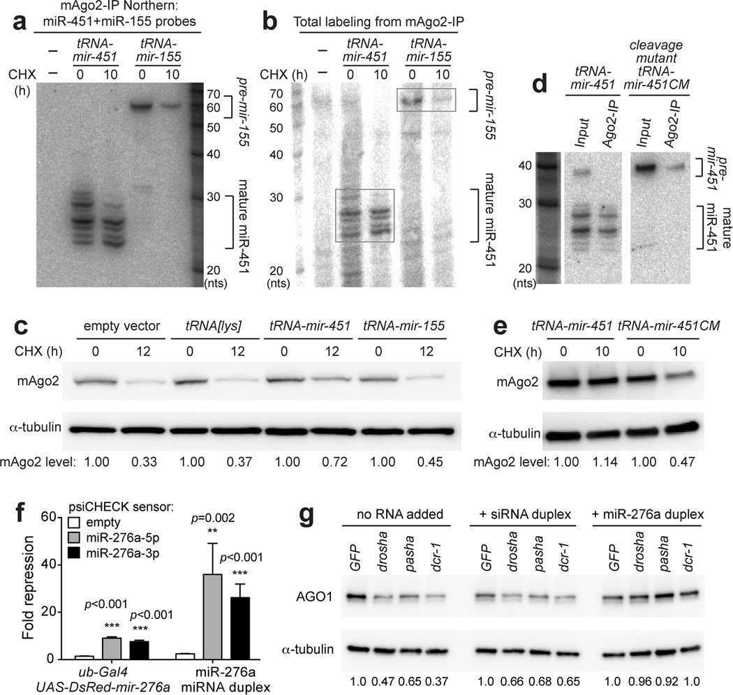 Accumulation of mouse and Drosophila Argonautes is dependent on loading with functional small RNAs (a) Dicer −/− cells were transfected with tRNA-mir-451 or tRNA-mir-155 fusion constructs, and RNAs recovered from mAgo2-IP were subjected to Northern blotting. (b) RNA samples from (a) were subjected to 5'-end labelling to visualize all RNAs. Signals in mAgo2-IP derived mostly from mature miR-451 and pre-mir-155 . (c) Western blot showing that mAgo2 was stabilized in cells expressing wild-type Dicer-independent mir-451 , but not in cells expressing Dicer-dependent mir-155 or tRNA[lys] parent construct. (d) A tRNA-mir-451 cleavage mutant (CM) contains bulged nucleotides at its mAgo2 cleavage site. This arrests its processing as a pre-miRNA hairpin, as confirmed by Northern blotting of input and mAgo2-IP material from transfected Dicer −/− cells. Note that cells expressing wild-type tRNA-mir-451 mildly accumulate the hairpin precursor, but mAgo2 complexes strictly contain cleaved and matured forms of miR-451. (e) mAgo2 was not stabilized by tRNA-mir-451-CM , compared to tRNA-mir-451 . (f) Luciferase sensor assays in Drosophila S2 cells. Sensor constructs were empty, or contained complementary sites to miR-276a-5p or miR-276a-3p. Tests were done in quadruplet for each sample. Error bars represent standard variation. Student's two-tailed, equal variance t-test was performed. (g) S2 cells were depleted of miRNA biogenesis factors using the indicated dsRNAs or control GFP dsRNA. Transfection of scrambled siRNA duplex mildly improved AGO1 accumulation, but synthetic miR-276a-miR-276a* duplex induced robust recovery of AGO1 levels. See also Fig. S6 .