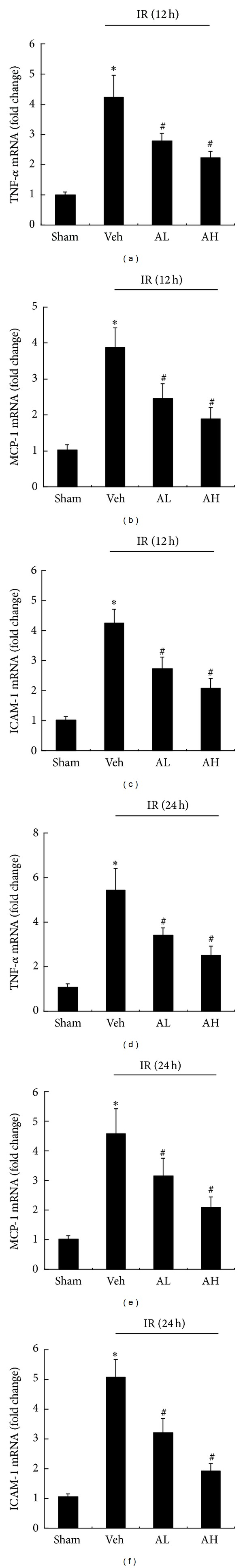 AS-IV downregulated the mRNA expression of TNF- α , MCP-1, and ICAM-1 in rats with ischemic AKI. Representative real-time PCR of TNF- α (a), MCP-1 (b), and ICAM-1 (c) in renal tissues from sham, vehicle-, or AS-IV-pretreated rats at 12 h of reperfusion. Representative real-time PCR of TNF- α (d), MCP-1 (e), and ICAM-1 (f) in renal tissues from sham, vehicle-, or AS-IV-pretreated rats at 24 h of reperfusion. Results are expressed as mean ± SD. * P