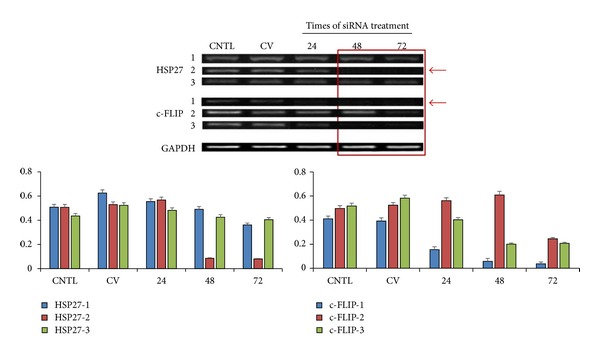 RT-PCR bands show effective silencing of the heat shock protein 27 (Hsp27) and c-FLIP gene expression in PC-3 cells after small interfering RNA (siRNA) treatment.