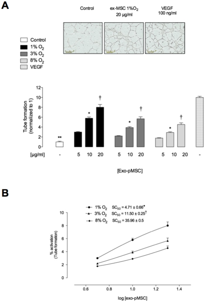 Exosomes from hypoxia increases microvascular tube formation in a dose-dependent manner. hPMEC were incubated in Matrigel in absence or presence of different exosomal protein concentration from pMSC exposed to 1%, 3% or 8% O 2 . (A) Quantitative analysis of the total tube formation. (B) Concentration response from data in A. insert: half-maximal stimulatory concentration (SC 50 ) at 16 h. Values are mean ± SEM. In A, * *p