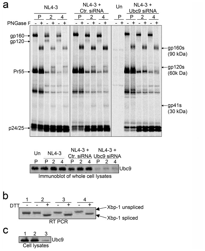 Decreased Env stability in Ubc9 knockdown cells is not due to endoplasmic reticulum stress responses. (a) Molecular weights of deglycosylated Env proteins in the presence or knockdown of Ubc9 expression. 293T cells were transfected with pNL4-3 alone, or in combination with either Ctr. siRNA or Ubc9 siRNA, or left untransfected (Un). Cells were pulse (P) labeled with [ 35 S] methionine/cysteine for 1 hour and chased for 2 and 4 hours. Cell associated viral proteins were solublized and immunoprecipitated with pooled AIDS patient sera, split equally, and incubated for 3.5 hours at 37°C in the presence, or absence of N-glycosidase F (PNGase F). Samples were separated by SDS PAGE and visualized by phosphorimaging using The Discovery Series Quantity One software. A representative over-exposed gel is shown so that partially Endo H f resistant Env can be more easily visualized. The identity and position of PNGase F untreated viral proteins are labeled on the left of the gel. Deglycosylated, PNGase F sensitive, viral proteins are labeled on the right and are denoted with a (s) to identify the position of gp160s, gp120s, and gp41s in the gel after PNGase F treatment. (b) Unfolded protein response activation state in the presence or knockdown of Ubc9 expression. Untransfected (1), NL4-3 alone (2), NL4-3 + Ctr. siRNA (3), NL4-3 + Ubc9 siRNA (4). Total RNA was extracted from transfected 293t cells that were either treated with 5mM DTT for 3 hours to induce UPR, or left untreated. Total mRNA was reverse transcribed with oligo (dT) followed by PCR amplification of XBP-1 cDNA using primers that flank an alternative splicing site with in the XBP-1 mRNA. (c) Immunoblot of Ubc9 expression in whole cell lysates. Untransfected (group 1), Ctr. siRNA (group 2), and Ubc9 siRNA (group 3).