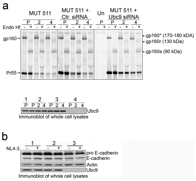 Stability of gp160 is unchanged in Ubc9 knockdown cells. (a) 293T cells were transfected with pNL4-3 MUT 511 alone, or in combination with Ctr. siRNA or Ubc9 siRNA, or left untransfected. Cells were pulse (P) labeled with [ 35 S] methionine/cysteine for 1 hour, then chased for 2 and 4 hours. Samples were processed as described in previous Endo H f experiment. A representative over-exposed gel is shown so that partially Endo H f resistant Env can be more easily visualized. The identity of Endo H f , untreated viral proteins and their positions in the gel are labeled on the right. Deglycosylated Endo H f sensitive forms of gp160 residing in the ER are labeled as gp160s. Partially deglycosylated, Endo H f resistant forms of gp160 that have undergone glycan modification in the TGN are labeled as gp160r. These forms of gp160 denoted as gp160* in Endo H f untreated samples. Lower panel: Immunoblot of Ubc9 expression in whole cell lysates; untransfected (group 1), pNL4-3 (group 2), Ctr. siRNA (group 3), and Ubc9 siRNA (group 4). (b) Furin activity is not dependent upon Ubc9 expression. 293T cells were lysed 24 hrs post transfection and cell lysates were immunoblotted with antibodies against Ubc9, Actin, and E-Cadherin. Immature, uncleaved E-Cadherin is designated as pro E-Cadherin.