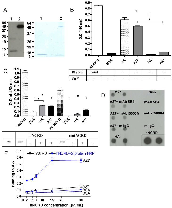 <t>A27</t> viral protein interacts with SP-D. (A) Characterization of the recombinant A27 protein. The purified recombinant A27 protein (0.5 µg/lane and 2 µg/lane for Western-blot (left panel) and 12% SDS-PAGE analysis (right panel), respectively) was heated at 100°C for 5 min in denaturating, reducing sample buffer (lane 1) or incubated for 5 min at room temperature in non-reducing sample buffer (lane 2). RhSP-D (2.5 µg/ml) (B) or hNCRD and mutNCRD (5 µg/ml) (C) were incubated for 1 hour at 37°C with coated proteins on 96-multiwell plate. Bound RhSP-D was revealed with a rabbit anti-SP-D specific antibody and with a goat <t>anti-rabbit-HRP</t> antibody. TMB substrate was added and OD was measured at 450 nm. An asterisk indicates a statistically significant difference (n=3; p