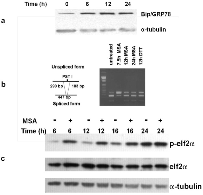 MSA induces the UPR in human melanoma. ( a ) MSA treatment (15 μM) initiates the unfolded protein response in SK-Mel 28 melanoma cells as shown by increased levels of Bip/GRP78. ( b) MSA activates IRE1 as assessed by analysis of XBP1 cDNA. In the mature message produced by IRE1 the PST 1 cleavage site is spliced out giving the 447 bp product. ( c ) elF2α is phosphorylated by release of PERK from the ER of melanoma cells treated with 15 μM MSA for the indicated times. Results are representative of 2 separate experiments.