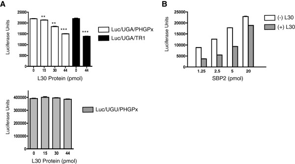 Repression of UGA recoding by L30 is rescued by SBP2. A . In vitro UGA recoding assays were performed using a luciferase reporter RNA that contains UGA (top panel) or UGU (bottom panel) at position 258 of the coding region, fused to either the PHGPx or TR1 SECIS element as indicated. Translation assays were performed in the presence of increasing amounts of L30 as indicated. The products were analyzed for luciferase activity using a luminometer, and the results are expressed as means ± SEM. Statistical significance is indicated by ** ( p