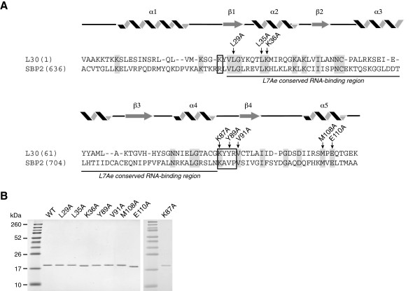 Mutational analysis of L30. A . A schematic illustrating the primary sequences and predicted secondary structures of L30 and SBP2. The position numbers refer to the rat protein sequences. The L7Ae conserved RNA-binding domain is underlined and the conserved signature amino acid motifs for L30 and SBP2 are boxed as described in [ 37 ]. Arrows indicate the amino acids in L30 that were mutated to alanine. B . The wild-type and mutant L30 protein were expressed in bacteria, purified and analyzed by SDS-PAGE and Coomassie Blue staining. The molecular weight markers are shown in the left lane of each gel.