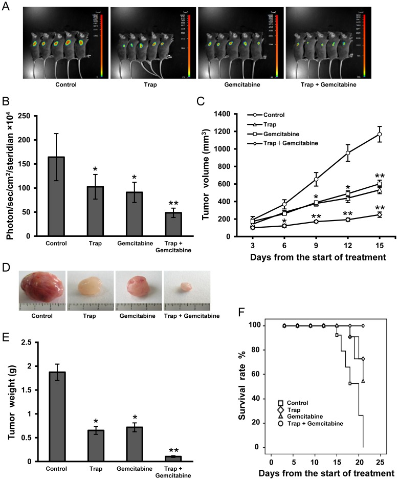 Anti-tumor effects of combination therapy with VEGF-Trap and <t>gemcitabine</t> in LLC tumor model. ( A ) Bioluminescence images of subcutaneous inoculated LLC tumors on day 12 after the start of treatment; ( B ) Imaging analysis (photons per second) depicting the tumor volumes of mice using the IndiGo imaging analysis software; ( C ) Tumor volume calculated on day 3, 6, 9, 12,15 after the start of treatment; ( D ) Representative tumor photos on day 15 after the start of treatment; ( E ) Tumor weights were measured on day 15 when tumors were harvested; ( F ) Survival curves were constructed according to the Kaplan-Meier analysis. n = 8 for each group, * P