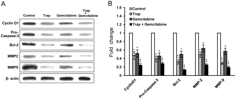 Down-regulation of proteins associated with proliferation, anti-apoptosis and invasion in tumor after the combination therapy. ( A ) Western blot analysis showed that VEGF-Trap combined with gemcitabine inhibited the expression of Cyclin D1, Pro-Caspase-3, Bcl-2, MMP2 and MMP9 in LLC tumors; ( B ) Quantitation of protein levels. β-actin served as an internal control. Densitometer quantitation was relative to the first data set in each case (indicated by a value of 1). All data are representative of at least two independent experiments. * P