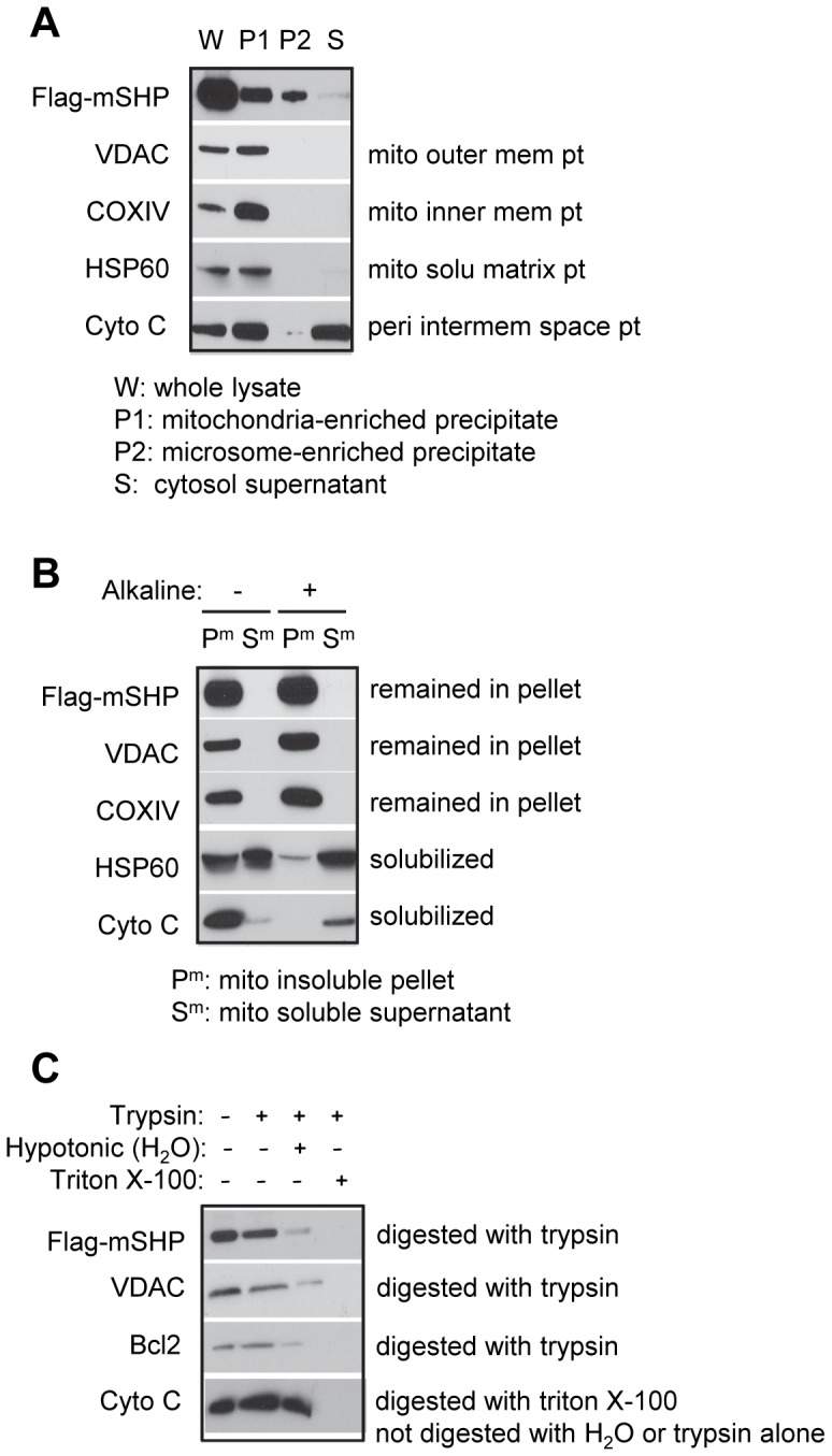 SHP protein is localized on the mitochondrial outer membrane. (A) Western blots to detect Flag-mSHP, VADC, COXIV, HSP60, and Cyto C proteins using specific antibodies for each protein, with the exception of SHP, which was detected with an anti-Flag antibody. Huh7 cells were transfected with Flag-mSHP (20 µg, 15 cm plate), and five plates were used to harvest protein. Differential centrifugation was used to isolate the mitochondria-enriched precipitate fraction (P1), microsome-enriched precipitate fraction (P2), and cytosolic supernatant fraction (S); the whole cell lysate (W) was used for comparison. (B) Alkaline digestion of mitochondrial membrane fraction (P m ) and soluble fraction (S m ) and Western blots to determine Flag-mSHP, VADC, COXIV, HSP60, and Cyto C proteins. (C) Trypsin protection assays and Western blots to determine Flag-mSHP, VADC, Bcl2, and Cyto C proteins in mitochondria. Abbreviations: mito, mitochondria; mem, membrane; solu, soluble; peri, peripheral; pt, protein.