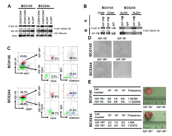 Insulin-like growth factor 1 receptor serves as a marker for breast cancer stem cells . (A) Cells from xenograft BC0145 or BC0244 tumors were sorted as indicated populations and phosphorylation of insulin-like growth factor 1 receptor (IGF-1R) was determined by western blot. (B) pIGF-1R Tyr1165/1166 of immunoprecipitated IGF-1R from aldehyde dehydrogenase (ALDH) - or ALDH + BC0244 xenograft tumor cells was determined. (C) Tumor cells of BC0145 or BC0244 xenografts were stained with PE-conjugated anti-IGF-1R antibody and FITC-conjugated anti-H2K d antibody. CD24 - CD44 + or ALDH + cells within IGF-1R + /IGF-1R - BC0145 cells (upper panel in (B)) or IGF-1R hi /IGF-1R lo BC0244 cells (lower panel in (B)) were determined by co-stain with PE-Cy7-conjugated anti-CD24/APC-conjugated anti-CD44 antibodies or Aldefluor substrate. (D), (E) Two populations of IGF-1R + /IGF-1R - (BC0145) or IGF-1R hi /IGF-1R lo (BC0244) cells were sorted from the H2K d- population by fluorescence-activated cell sorting (FACS) and determined the mammosphere formation capability (D) or tumorigenicity (E). The CSC frequency was calculated by ELDA software (table in (E)). All experiments were repeated independently at least twice and results shown were from a representative experiment. IP, immunoprecipitation; IB, immunoblot.