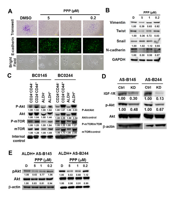 Targeting IGF-1R affects cancer stem cell properties and Akt activation of breast cancer stem cells . (A) CD44 + cells of AS-B244 cells were treated with picropodophyllin (PPP) for 12 hours and cell migration within 18 hours was determined (upper panel). E-cadherin expression was determined by immunofluorescence stain (middle panel, 10× objective lens). Cell morphology was observed under microscope (bright field, 20× objective lens). (B) The expression of epithelial-mesenchymal transition-related molecules after PPP treatment was determined by western blot. (C) Cells were sorted as described in Figure 1A and the phosphorylation of Akt or mammalian target of rapamycin (mTOR) was determined by western blot. GAPDH and actin were used as internal control for BC0145 and for BC0244, respectively. (D) AS-B145 or AS-B244 cells were transfected with 100 nM negative control siRNA (ctrl) or insulin-like growth factor 1 receptor (IGF-1R) specific siRNA (KD) for 48 hours and the expression of IGF-1R, Akt or p-Akt was determined by western blot. (E) ALDH + AS-B145 or ALDH + AS-B244 cells were treated with PPP for 48 hours. pAkt ser473 was determined by western blot. All experiments were repeated at least twice and results shown were from a representative experiment. ALDH, aldehyde dehydrogenase; DMSO, dimethylsulfoxide.
