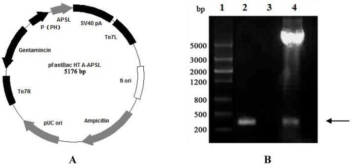 Identification of the recombinant plasmid (pFastBac HTA- APSL ). The PCR product was electrophoresed on 1% agarose gel. ( A ) Recombinant plasmid analysis map. ( B ) Identification of the recombinant plasmid map. Lane 1: DNA Marker III (Shanghai Yuanye, China); Lane 2: PCR product of recombinant plasmid with P1/P2; Lane 3: PCR product of pFastBac HTA with P1/P2; Lane 4: double digest product ( Bam H I/ Sal I) of the recombinant plasmid.
