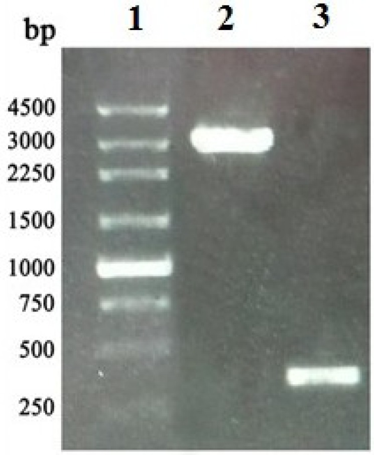 Identification of rBacmid- APSL by <t>PCR.</t> The PCR product was electrophoresed on 1% agarose gel. Lane 1: 250 bp <t>DNA</t> ladder marker; Lane 2: PCR product of rBacmid- APSL with M13 F/M13 R; Lane 3: negative control (PCR product of wild-type bacmid with M13 F/M13 R).
